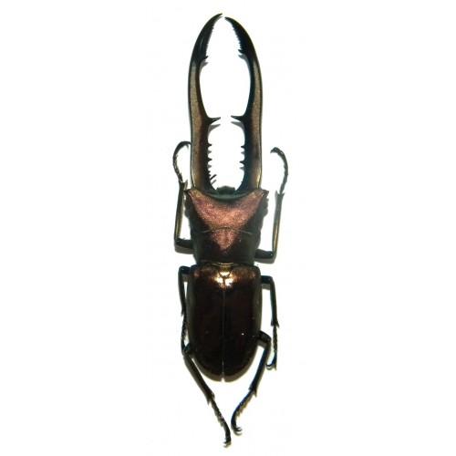 Cyclommatus metalifer finae (75-79mm)