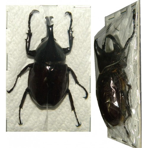 Xylotrupes sp. (40-44mm)