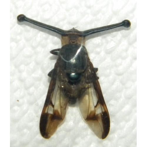 Achias sp.01 (eyestalk size: 10mm)
