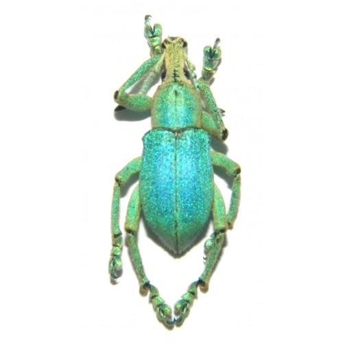 Eupholus bruyni BLUE FORM