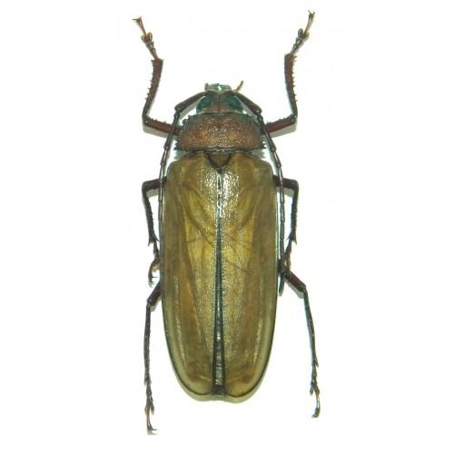 Agrianome loriae (35-39mm)