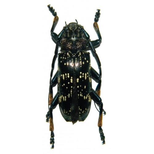 Sphingnotus dunningi (30-34mm)
