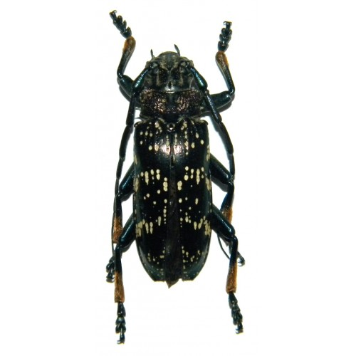 Sphingnotus dunningi (25-29mm)