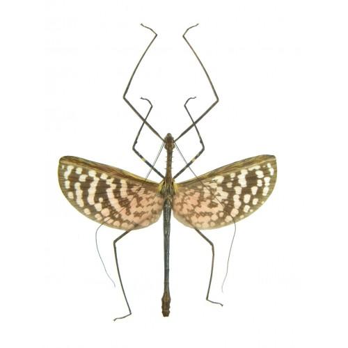 Diesbachia hellotis