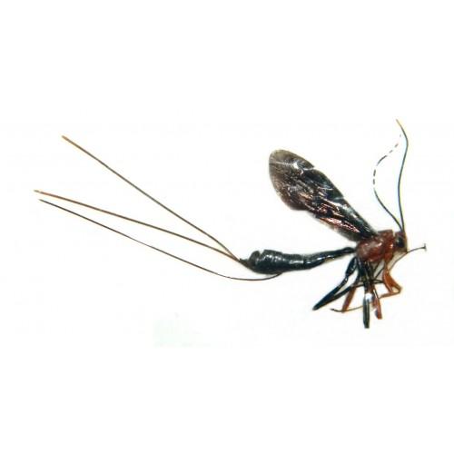 Gasteruptiidae sp.1 (Ovipositor length: +/-30mm)