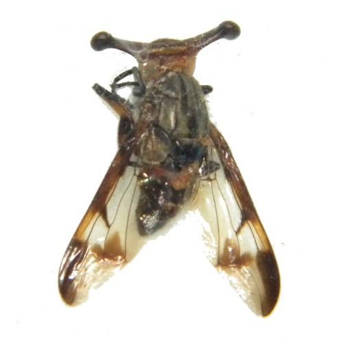 Achias sp.02 (eyestalk size: 8-9mm)