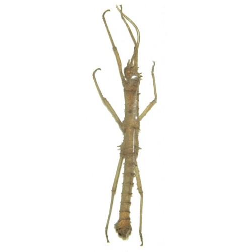 Phylaemenes coronatus
