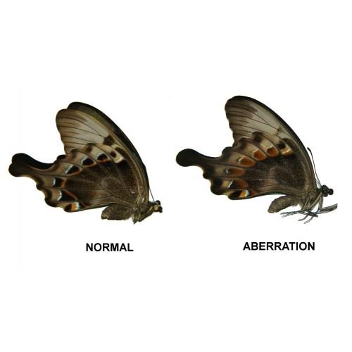 Papilio peranthus adamantius ABERRATION  1