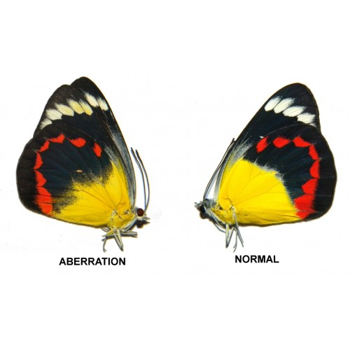 Delias timorensis moaensis ABERRATION 05
