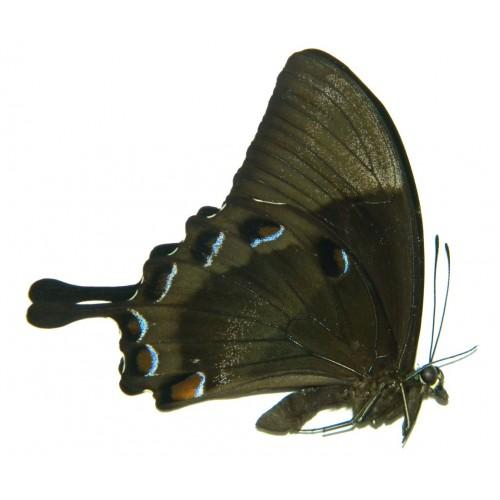 Papilio ulysses physkon