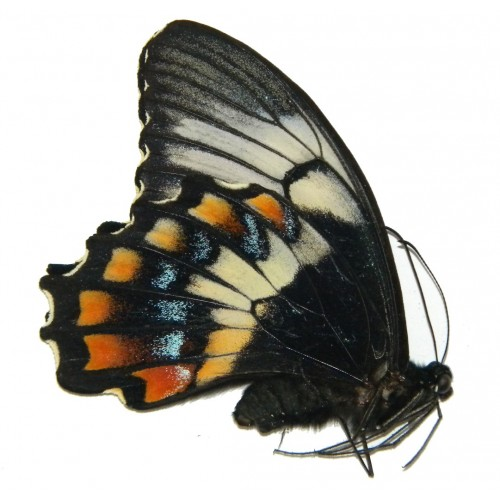 Papilio gambrisius buruanus ABERRATION