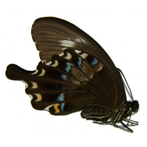 Papilio fuscus fuscus ABERRATION 1