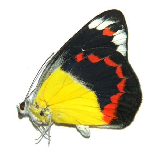 Delias timorensis moaensis ABERRATION 02