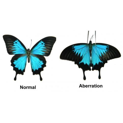 Papilio ulysses ulysses ABERRATION 1