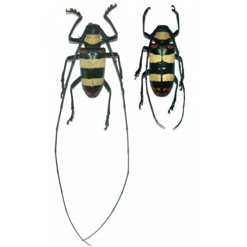 Nemophas tricolor (34-35mm)