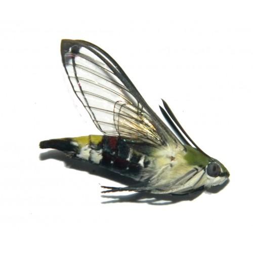 Cephonodes picus