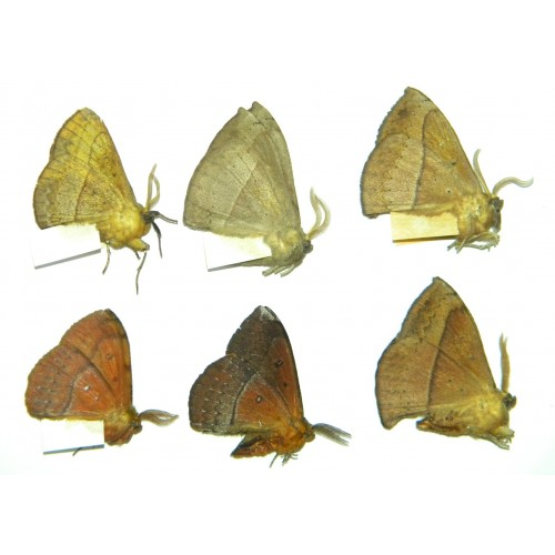 Eupterotidae SET OF 23