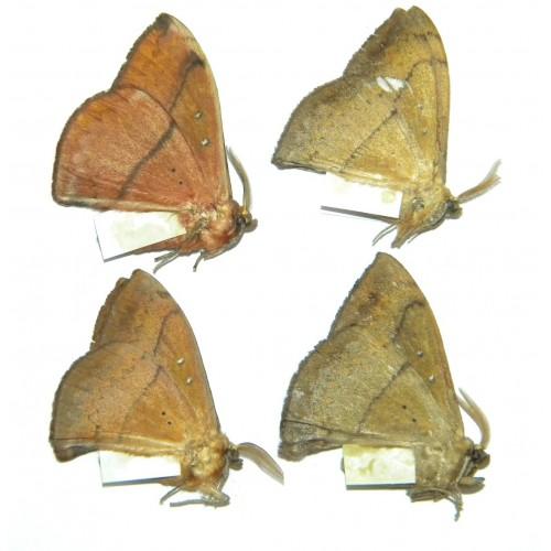 Eupterotidae SET OF 4