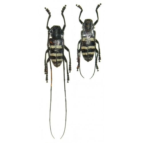 Nemophas trifasciatus (35-39mm)
