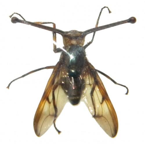 Achias rothschildi (eyestalk size: 22-23mm)