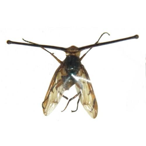 Achias rothschildi (eyestalk size: 28mm)