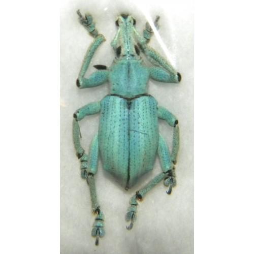 Eupholus lacordairei