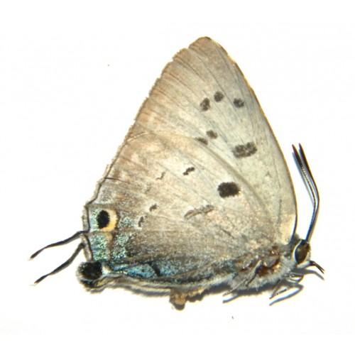 Deudorix cleora