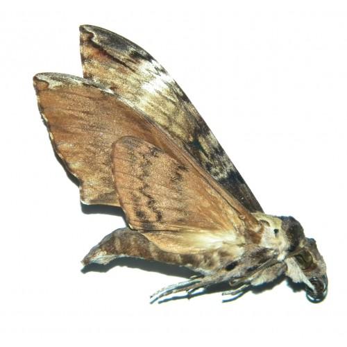 Meganoton hyloicoides