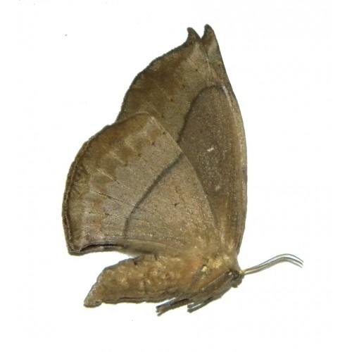 Eupterotidae sp.14