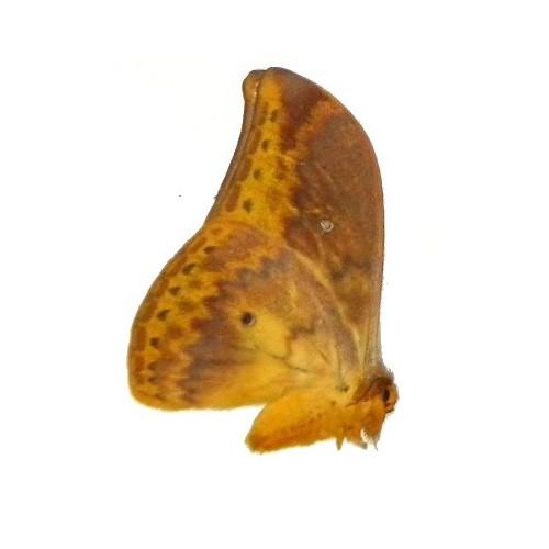 Syntherata sp.01