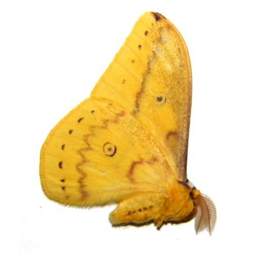 Neodiphthera arfakiana