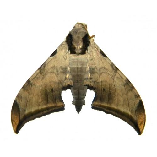 Ambulyx jordani