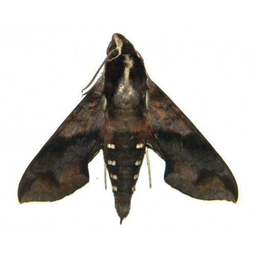 Hippotion brennus