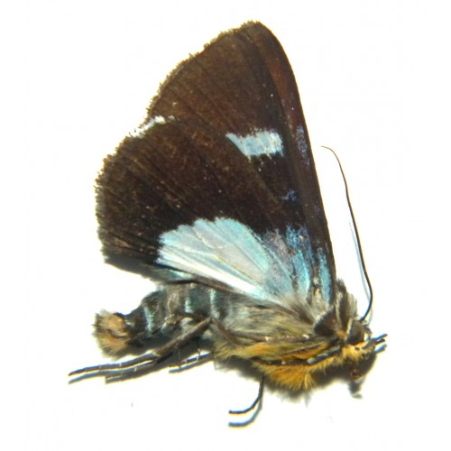 Argyrolepidia lunaris