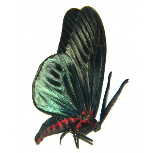 Gynautocera philomera seramensis