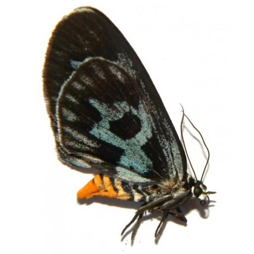 Longicella mollis mollis
