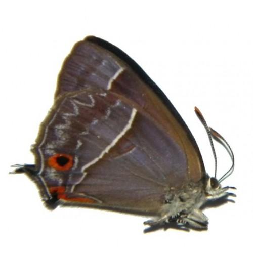 Austrozephyrus absolon absolon