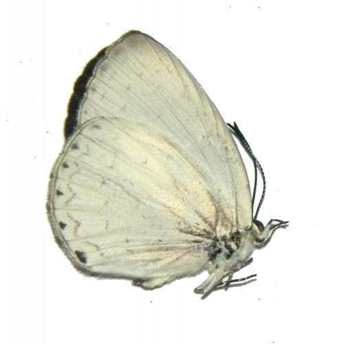 Candalides cupreus