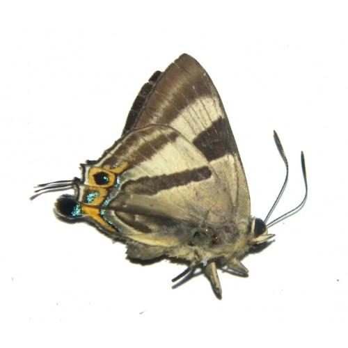 Deudorix epirus epirus