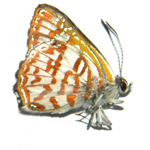 Hypochrysops arronica