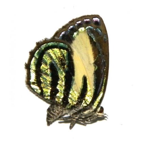 Hypochrysops dolleschallii dolleschallii