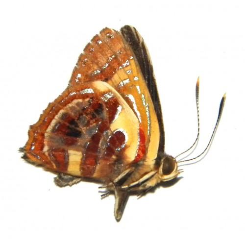 Hypochrysops narcissus menandrus