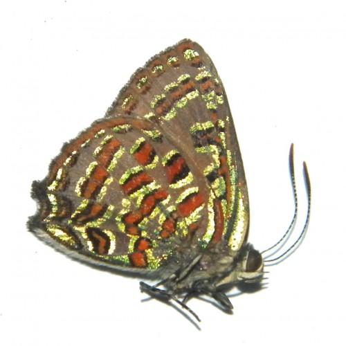 Hypochrysops pythias
