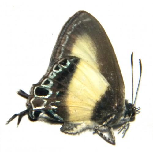 Hypolycaena danis