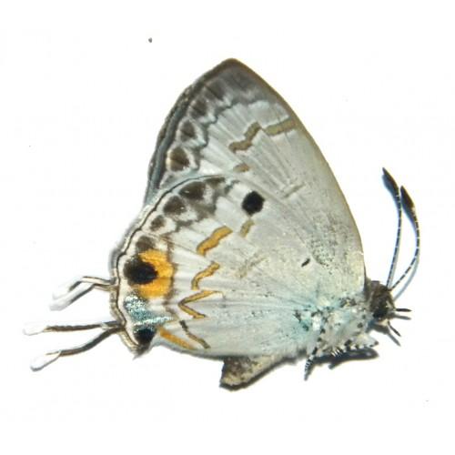 Hypolycaena xenia
