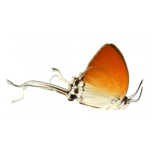 Neocheritra amrita amrita