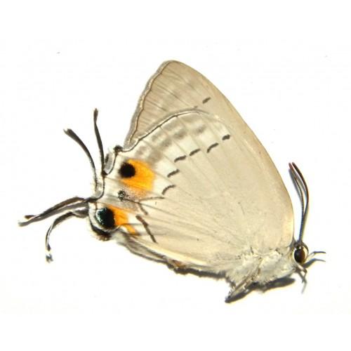 Tajuria cippus pseudolonginus
