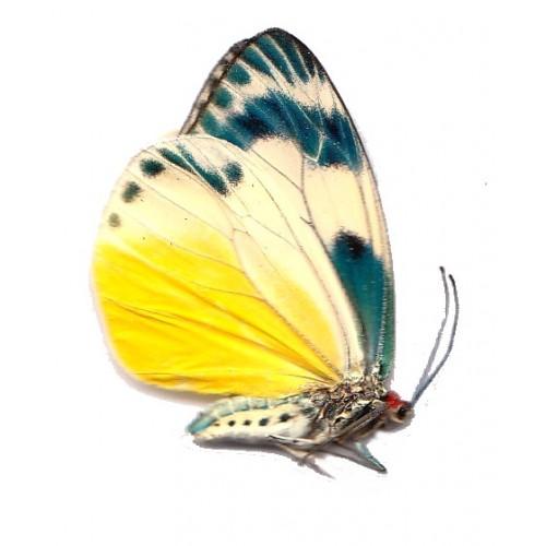Chalcosia phalaenaria intermedia