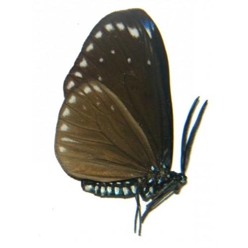 Cyclosia midamia dolosa