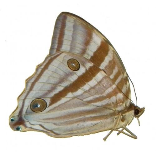 Amathusia phidippus celebensis